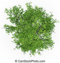 jesion, drzewo, Górny