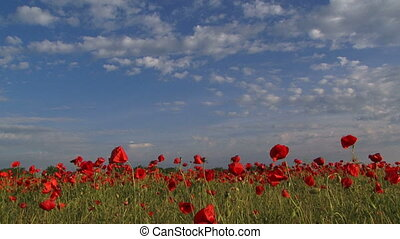 Poppy meadow against blue sky