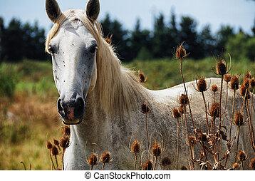 horse wild of camargue - Portrait of horse wild in camargue...