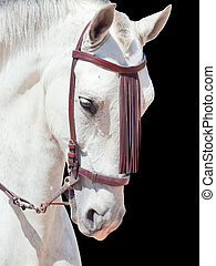 portrait of beautiful Andalisian speckled- white horse Spain...