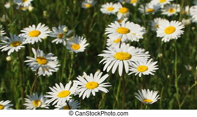 Blossoming chamomile