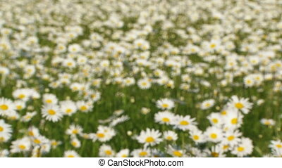 Blossoming daisies - Field of blossoming daisies in the wind