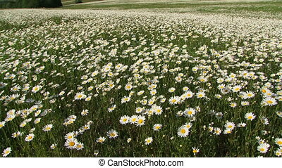 Blooming chamomiles - Field of blooming chamomiles in the...