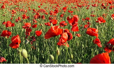 Poppy field - Huge field of blossoming poppies