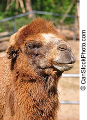 Bactrian camel - The Bactrian camel is a large, even-toed...