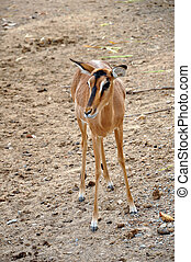 impala - The name impala comes from the Zulu language...