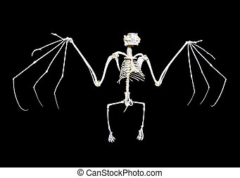 Fruit Bat Skeleton - Skeleton of a fruit bat, often called...