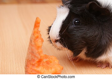 Little guinea pig eating a carrot