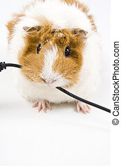 Guinea Pig - Little guinea pig eating a blalck usb cable