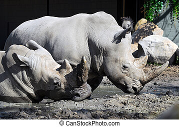 White rhinoceros - Picture of two White rhinoceros in the...