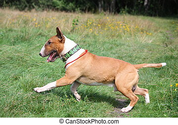 Red and white bull terrier running at the field in summer