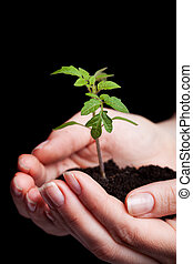 Young tomato seedling in woman hand - Young tomato seedling...