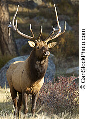 Beautiful Bull Elk - a beautiful big bull elk stands head on