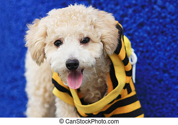 Cutie Poodle Dog - A cutie dog wearing yellow and black...
