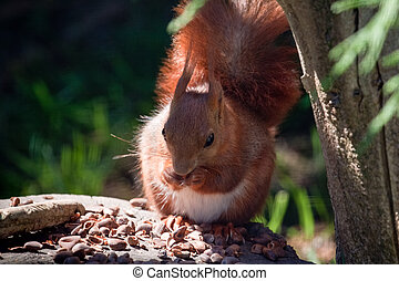 Close-up shot of an Eurasian Red Squirrel (sciurus vulgaris)