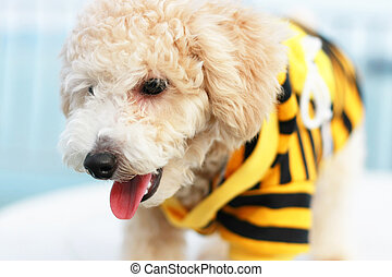 Cutie Poodle Dog - Close up of a cutie dog wearing yellow...