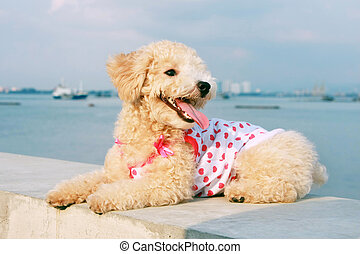 Cutie Poodle Dog - Cutie poodle dog sitting balustrade at...