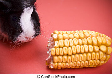 Little guinea pig eating corn