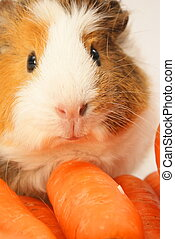 Guinea Pig - Guinea pig eating some carrots