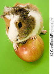 Guinea Pig with apple