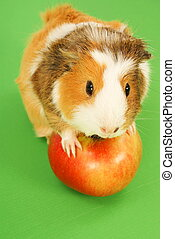 Guinea Pig - Guinea pig and red apple on green background