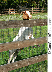 Billy goat standing on a fence