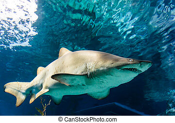 White and gray ragged tooth shark