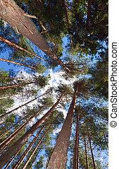 alto, pino, árboles, bosque, contra, azul, cielo