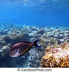 Tropical Sohal Surgeonfish in the Red Sea , Egypt - Corals...