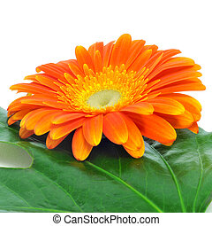 gerbera daisy - closeup of an orange gerbera daisy on a...