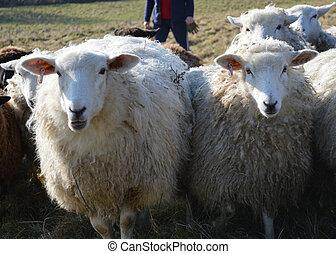 Romney, ovelhas