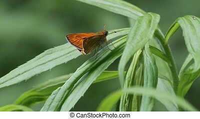 Small Skipper (Thymelicus sylvestris) sitting on a leaf