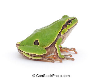 Tree frog - Small tree frog isolated on white background