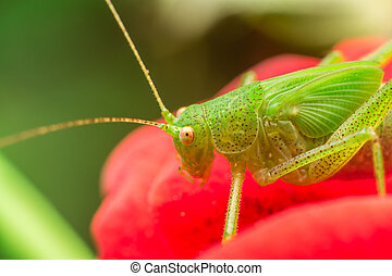 Cricket - Macro Photo Of A Green Cricket (Tettigonia...