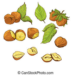 Set of highly detailed hand drawn hazelnuts isolated on...