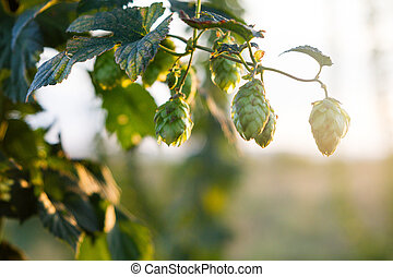 Hops plantation at sunset