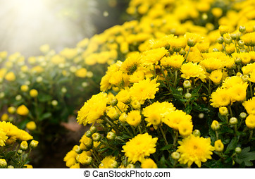 Yellow Chrysanthemums - Yellow chrysanthemum flowers...