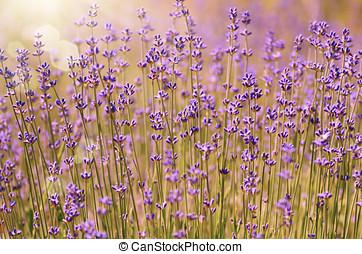 Lavender flowers bloom summer time against sunlight