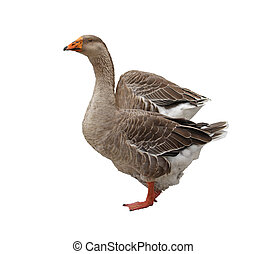Domestic Goose - Domestic goose isolated on a white...