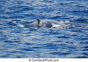 Humpback whale on the surface - Humpback whale are swimming...