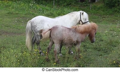 Ponies grazing - Two Ponies grazing - Nanos mountain,...