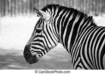 zebra black and white - portrait of zebra black and white