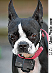 Curious Boston Terrier - A young Boston Terrier dog looking...