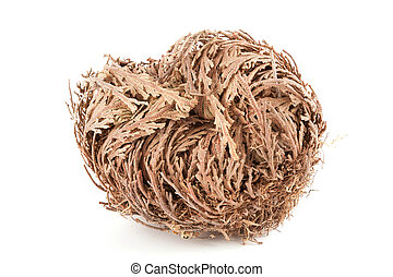 Rose of Jericho - Real Rose of Jericho on white background