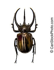 Beetle Chalcosoma Atlas isolated on the white background