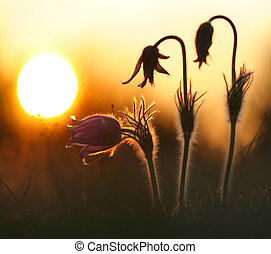 Pasque Wild Flower Group in setting sun