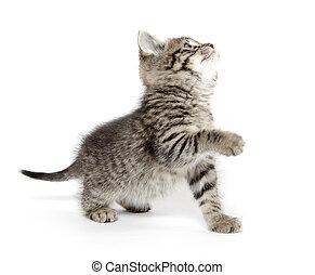 Cute tabby kitten - Cute baby tabby kitten playing on white...