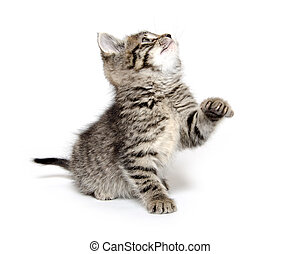Cute tabby kitten - Cute baby tabby kitten playing on white...