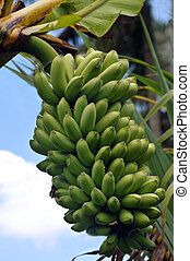 Tropical Bananas From Hawaii - Tropical Bananas Grown On A...