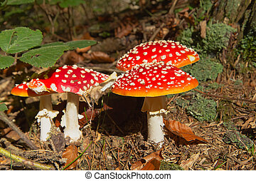 Group of toadstools in the forest (horizontally)